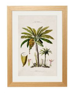 C1843 Banana Palm