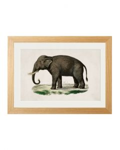 C1846 Indian Elephant