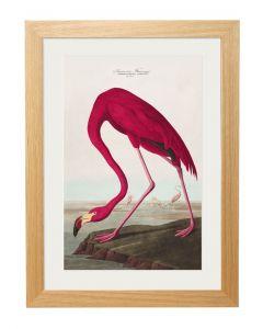 C1838 American Flamingo