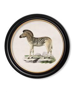 C.1836 Zebra in Round Frame
